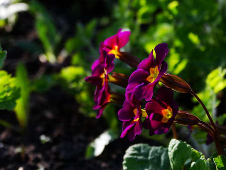 the flora: Primrose Flower Garden flora season spring plant Stock Photo