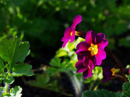 floristics: Primrose Flower Garden flora season spring plant Stock Photo