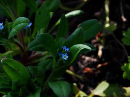 flora: Flowers forget-me ,  nature spting cultivation nature flora