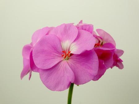 floristics: Geranium flower , houseplant cultivation flora floristics botany nature Stock Photo