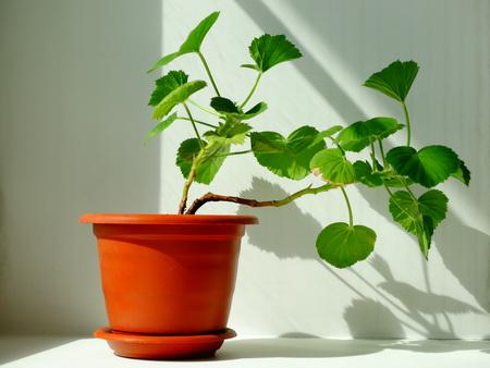 floristics: Geranium flower , houseplant spring cultivation flora floristics botany nature