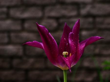 floristics: Scarlet tulips in flowerbed spring nature flowers flora floristics botany dew drops rain