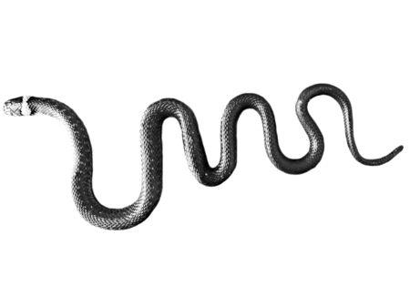 natrix: Snake on a white background natrix reptiles animal wild summer poison scale predator Stock Photo