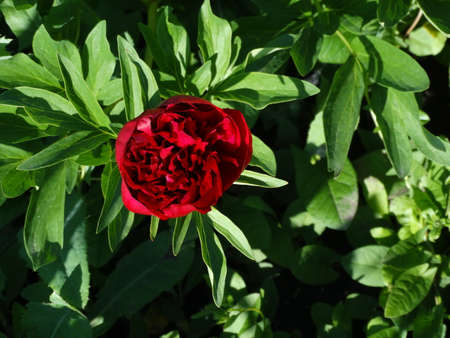 floristics: Red Peony in the garden summer season spring bloom bud petals nature flora floristics biology Stock Photo