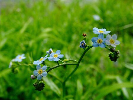 floristics: Flowers forget-me , nature spting cultivation nature flora Stock Photo
