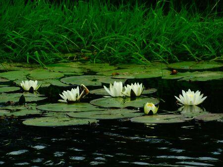 floristics: Water lilies on the lake nature flora floristics bloom season summer water petals