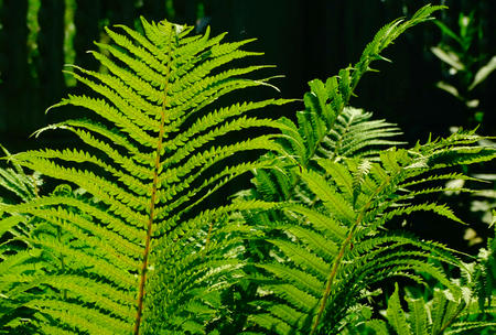 floristics: Fern in the garden nature season leaves green flora botany floristics summer