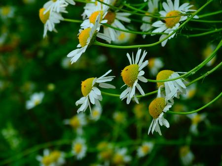 floristics: Meadow of daisies in summer nature season flower botany floristics closeup macro benefit medicine flora Stock Photo