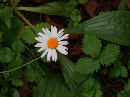 floristics: White daisy in the grass field nature season summer Stock Photo