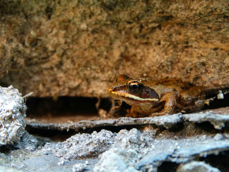 amphibia: Small Frog on the rocks toad amphibia animals wild nature color brown cold blooded closeup benefit season summer Stock Photo