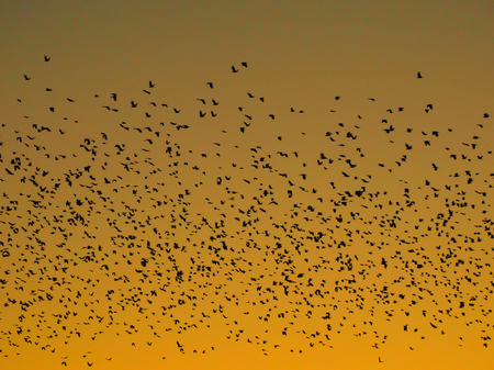 fauna: Flock of birds in the sky nature fauna sunset air high