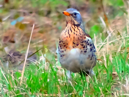 fauna: Bird Thrush Fieldfare wild nature fauna forest grass spring