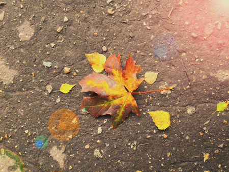 glare: Maple leaf on road nature autumnal sun, glare