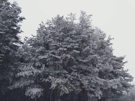 precipitación: abetos nevados en el bosque cubo frío helada escarcha helada precipitación paisaje blanco