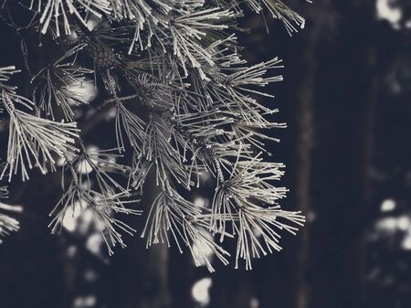 precipitación: Snowy fir trees in the forest nature cold frost frozen hoar white precipitation