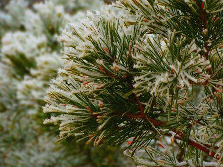 precipitación: abetos nevados en el bosque cubo frío helada escarcha helada precipitación blanca