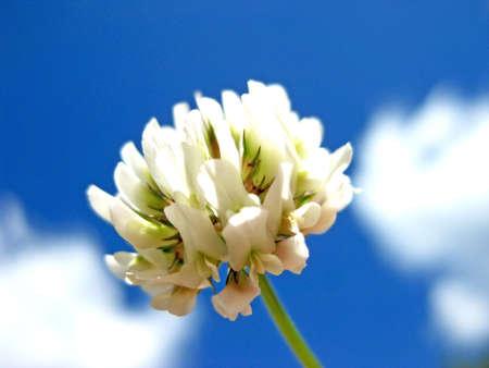 Trifolium Repens Stock Photo - 11350442
