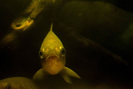 Crucian under water, at the depth of a pond, river or lake