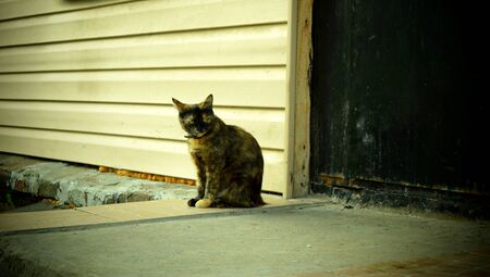 Three-colored cat with a special color sits on the porch at the entrance door