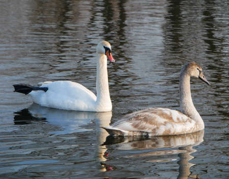 Swan swimming on river