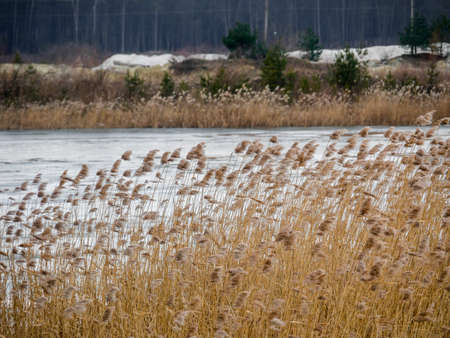 bulrush yellow on frozen lake