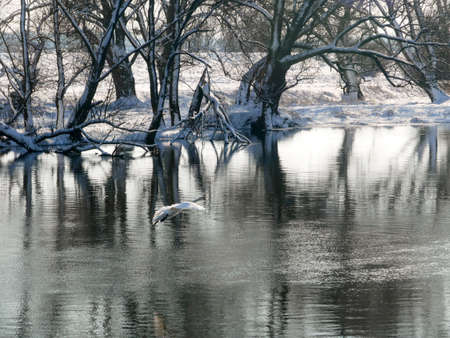 Swan swimming on river evening water nature Archivio Fotografico