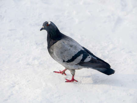 Pigeon in park on snow. Frozen pigeons in winter time photo Archivio Fotografico