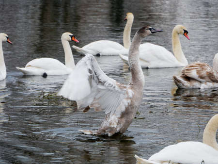 Swan swimming on river evening water nature Stock Photo