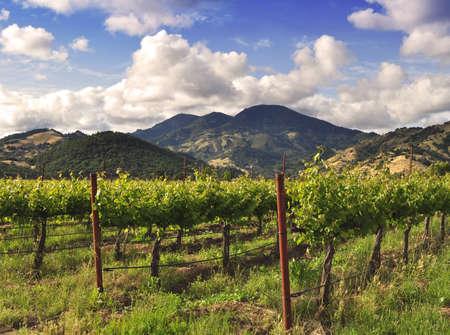 Napa Valley vineyard in Spring photo