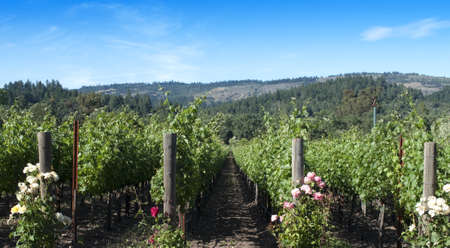Napa Valley vineyard scene in late afternoon.  Roses are at the beginning of every row.