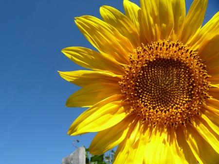 Sunflower on background blue sky Stock Photo - 11077221