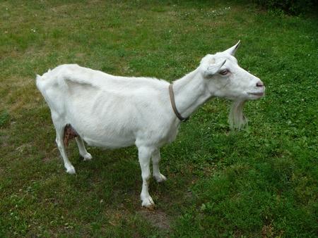 nanny goat: Blanching nanny goat on green background