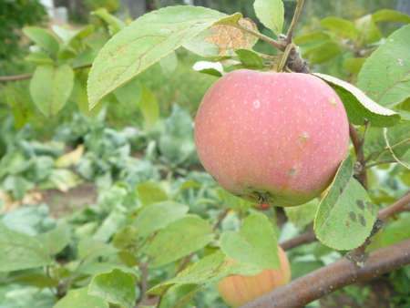 Apple on branch in garden photo
