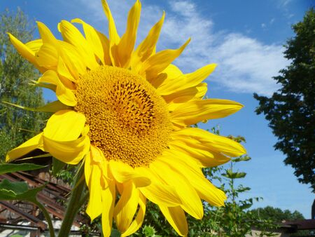 Sunflower on background blue sky photo