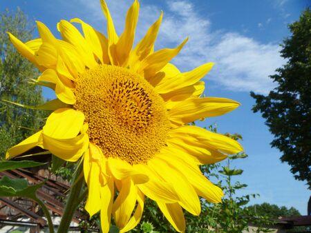 Sunflower on background blue sky photo