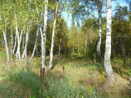 Autumn birch grove photo
