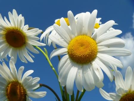 White daisywheels on background blue sky photo
