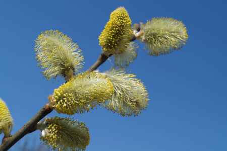 alder: Flowering branch of the alder on blue sky                                Stock Photo