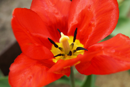 Tulip with red petal                                photo