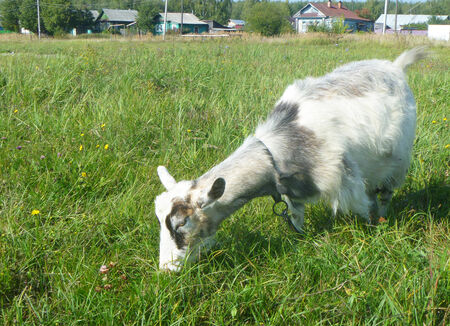 nanny goat: Nanny goat grazes on green meadow on background of the villages