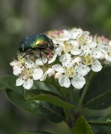 rowanberry: Bug on flower of black rowanberry