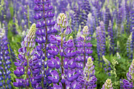 Flowering meadow flowerses of the lupine Zdjęcie Seryjne