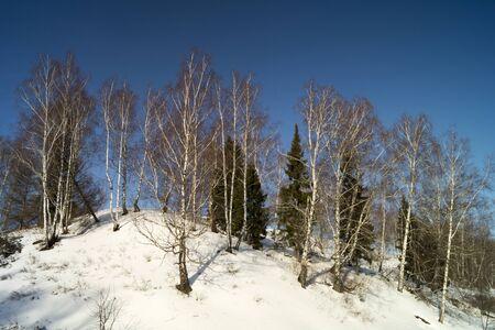 white winter: Winter landscape with white birch on background blue sky
