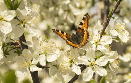 plum tree: Bright butterfly on white petal of the flower plum tree Stock Photo