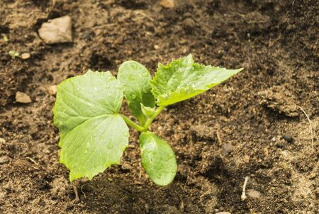 overhand: Green sprout with sheet cucumber grows on land by springtime