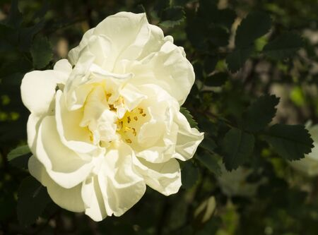 gentile: Blanching flowering rose on dark background sheet in garden