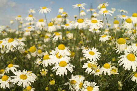 daisywheel: Daisywheels with white petal grow on ???? blue sky