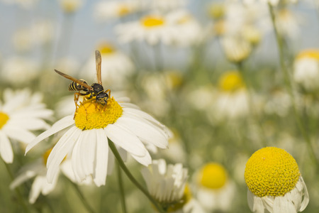 daisywheel: Insect wasp on daisywheel with white petal on background blue sky