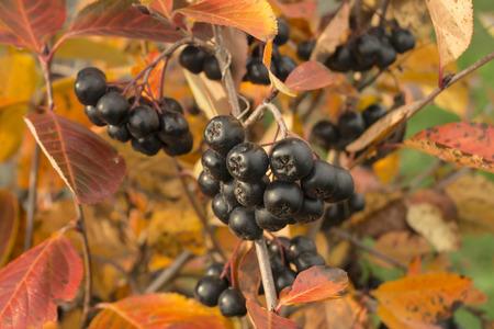 rowanberry: Ripe fruits of black rowanberry on background autumn sheet Stock Photo