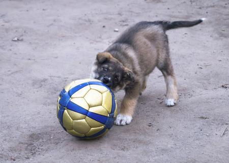 강아지의 강아지는 땅의 배경에 공을 가지고 노는 사람 스톡 콘텐츠